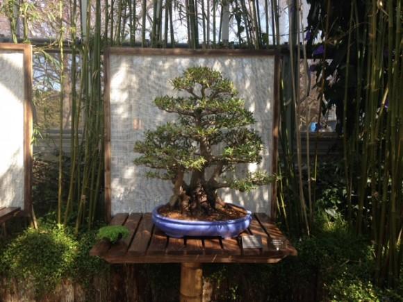 PHOTO: Willow-leaf fig (Ficus salicifolia) bonsai.
