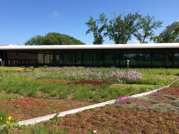 The north side of the green roof of the Chicago Botanic Garden Plant Science Center in 2015, including a blooming population Penstemon hirsutus used in one of Dr. Ksiazek-Mikenas' experiments