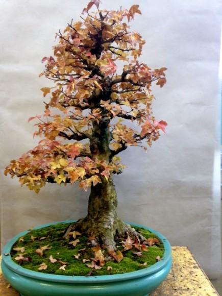 Bonsai in fall color.