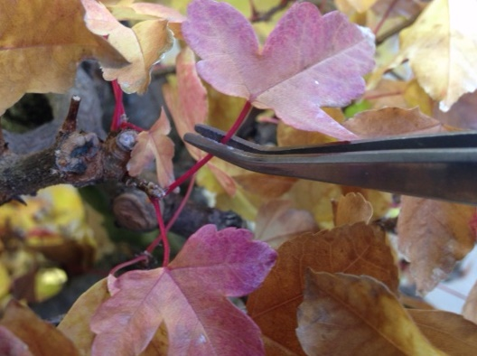 PHOTO: Bonsai foliage is removed with tweezers before storing the tree for the winter.
