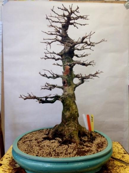 Bonsai tree prepped for winter storage.
