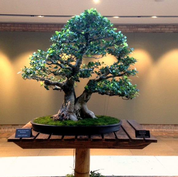 Ficus front, notice the exposed trunk line.