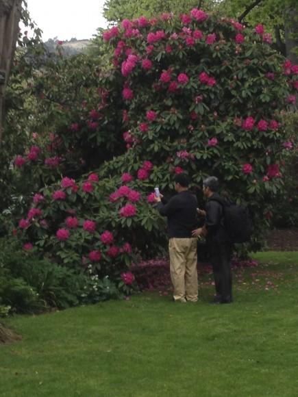 PHOTO: Rhododendron shrub.