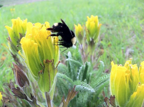 A golden paintbrush is visited by its primary pollinator, a bumblebee.