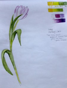 ILLUSTRATION: Tulip sketch by Sophia Siskel