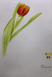 ILLUSTRATION: Tulip by Sophia Siskel