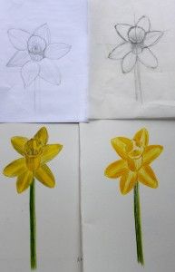 ILLUSTRATION: Narcissus sketches by Sophia Siskel