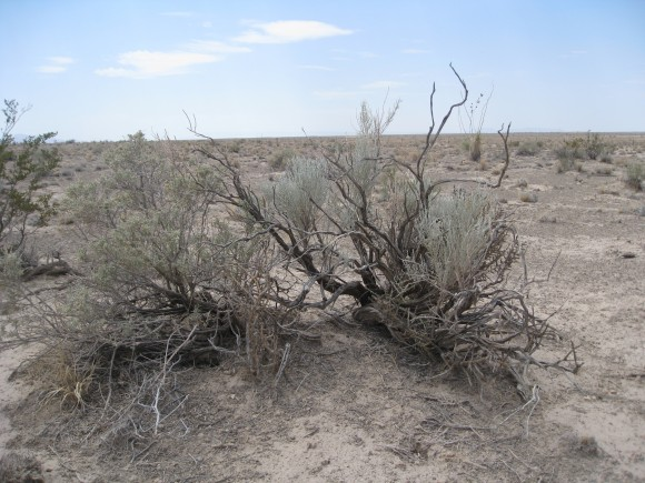 PHOTO: Burgess' scale broom (Lepidospartum burgessii).