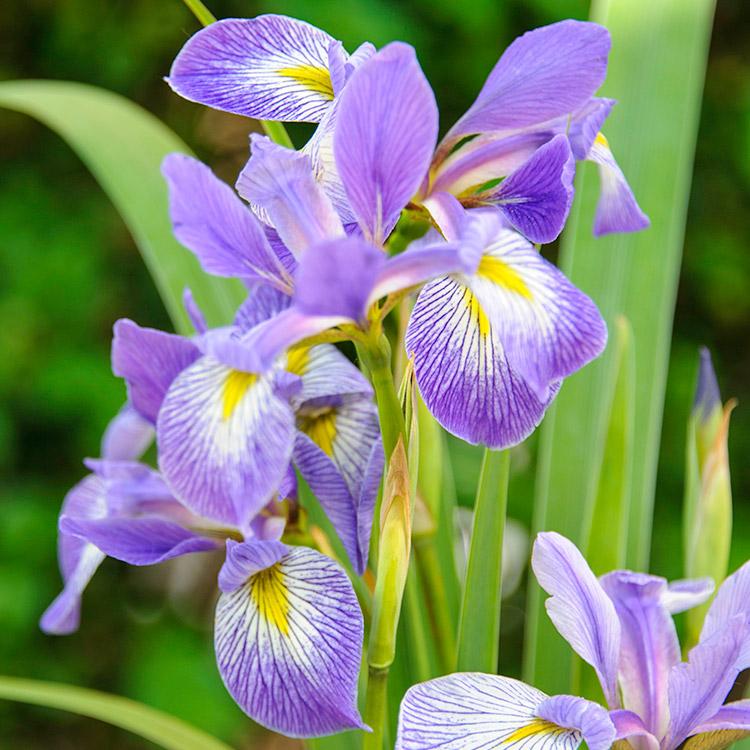 PHOTO: Iris virginica var. shrevei.