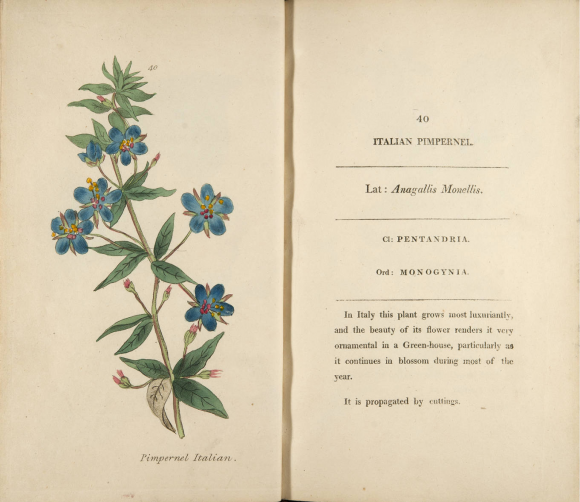 ILLUSTRATION: Italian pimpernel (Anagallis monellis).
