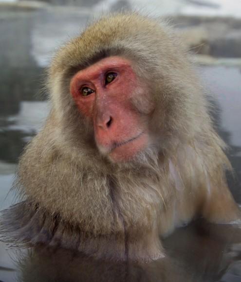 PHOTO: Japanese macaque, Nagano Prefecture, Japan.
