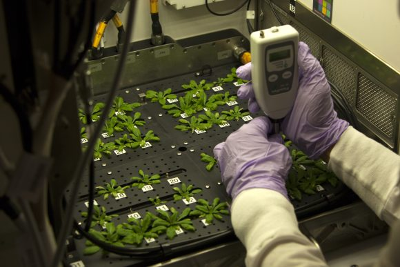 A FluorPen is used to measure the chlorophyll fluorescence of Arabidopsis thaliana plants.