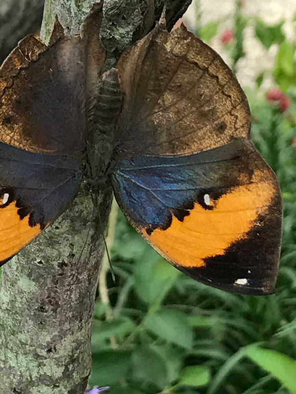 Kallima inachus with its wings open