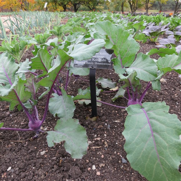 Young kohlrabi plants bordered by onions on the Fruit & Vegetable island.