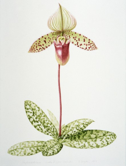 ILLUSTRATION: Lady's slipper orchid by Nancy Snyder.