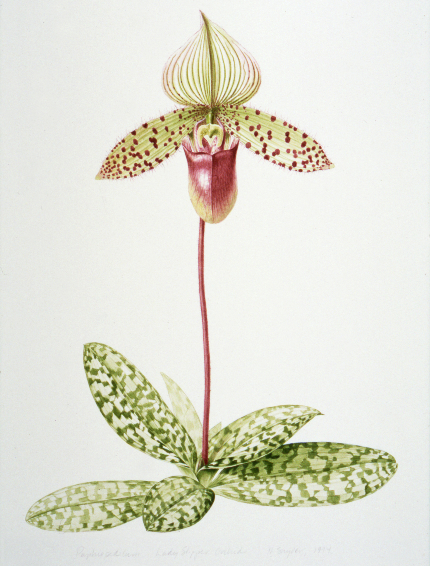 Orchid Scientific Drawing Illustration Lady's Slipper