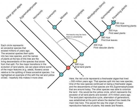 DIAGRAM: Land plant tree of life.