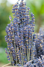 Lavender (Lavendula)