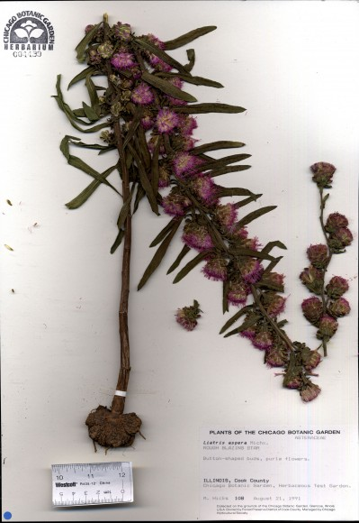 PHOTO: Page from the herbarium with Liatris aspera sample and data.