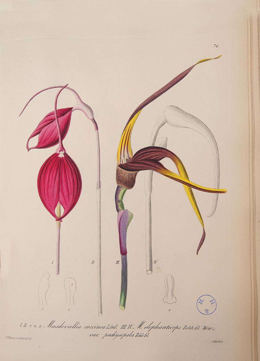 Orchid Scientific Drawing Photo an Illustration of
