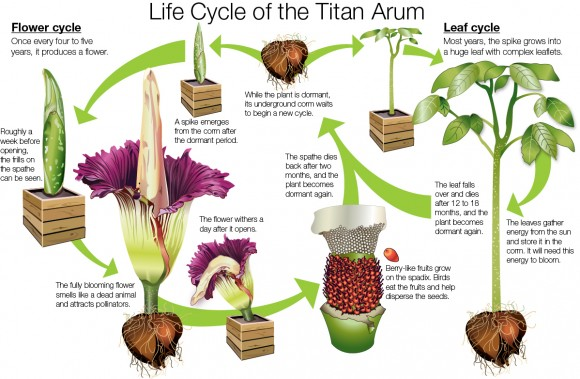 Life Cycle of the Titan Arum (Amorphophallus titanum).