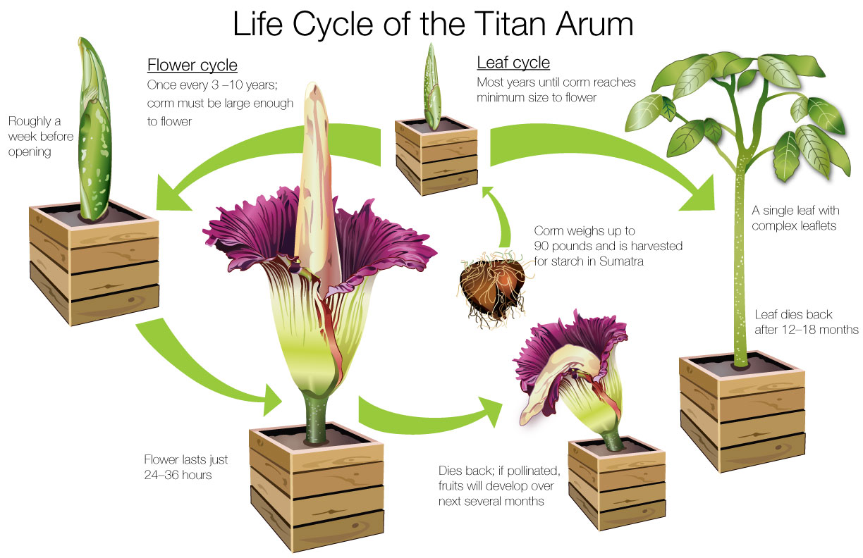 Life Cycle Of The Titan Arum on Plant Life Cycle Kids Facts