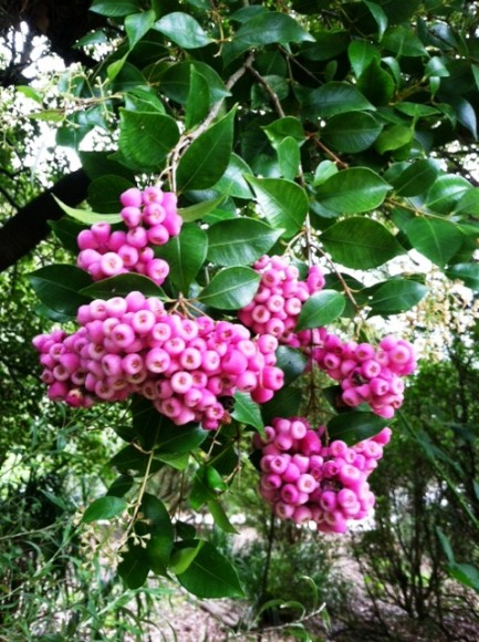 PHOTO: Lilly Pily tree.