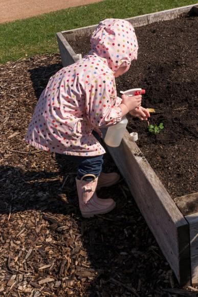 PHOTO: Watering seedlings in the raised beds.
