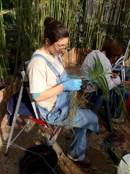 Horticulturist Liz Rex unravels Vanda roots.