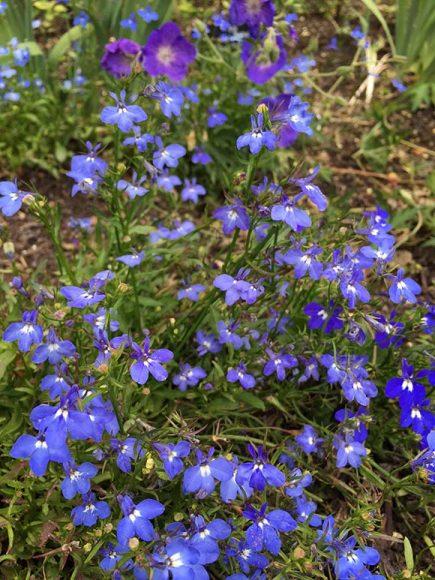 Lobelia (Lobelia erinus)
