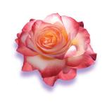 PHOTO: Love rose.