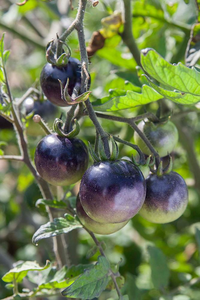 my chicago botanic garden tag archive indigo rose tomato. Black Bedroom Furniture Sets. Home Design Ideas