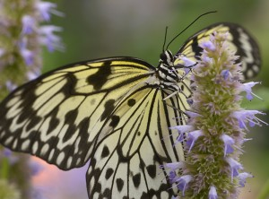 PHOTO: Paper Kite Butterfly
