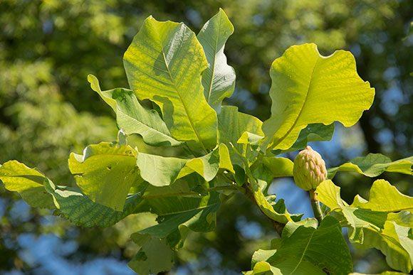 PHOTO: Magnolia ashei