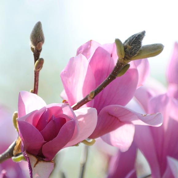 Saucer magnolia (Magnolia x soulangeana) in bloom