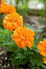 Marigold (Tagetes patula 'Janie Deep Orange')