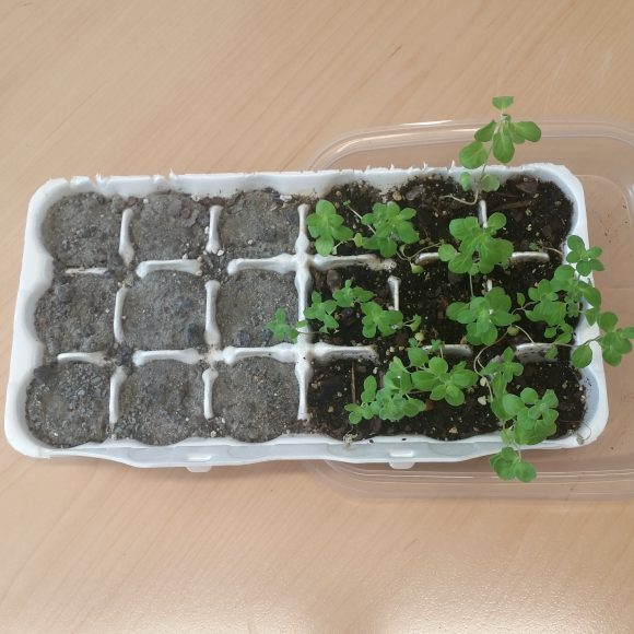 PHOTO: The same 18 cell egg carton now has nine Martian soil cells with no plants and nine cells with healthy marjoram growing in Earth potting soil.