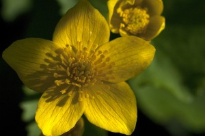 PHOTO: Marsh marigold