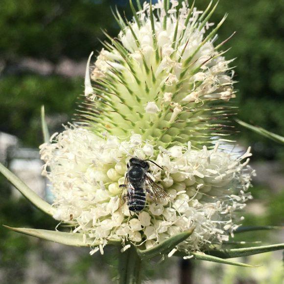 Megachilid (leaf cutter) bee