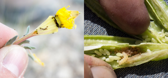 PHOTO: Mompha feeding and caterpillars.