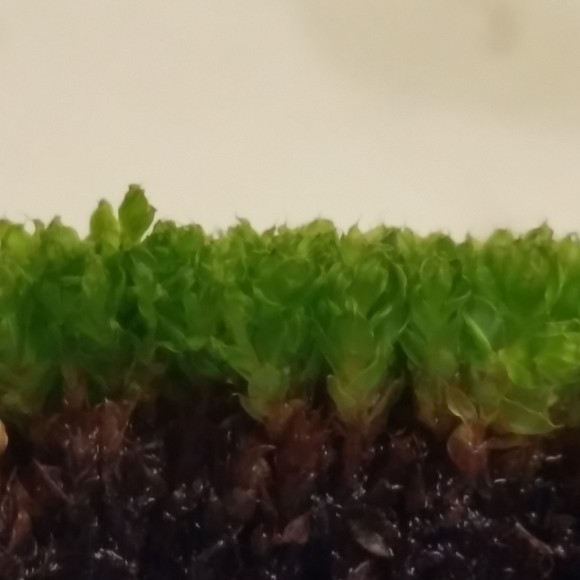 PHOTO: Seen from the side, the moss looks like a tiny, dense forest.