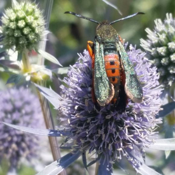 PHOTO: Picture of the moth perched on an eryngo flower head.