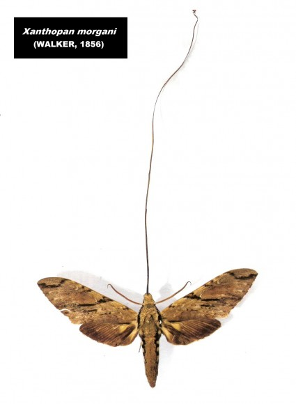 PHOTO: Morgan's sphinx moth, with its 30-centimeter tongue unrolled to show its length.