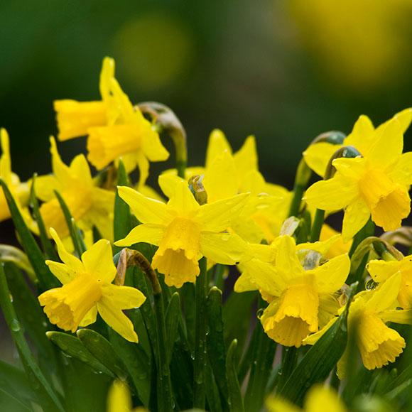 PHOTO: Narcissus 'Little Gem'.