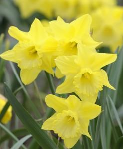 PHOTO: Narcissus 'Dutch Master'
