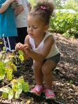 PHOTO: A small girl picks apart the seed pods of Lunaria, or money plant.