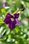 Nicotiana alata 'Perfume Deep Purple'