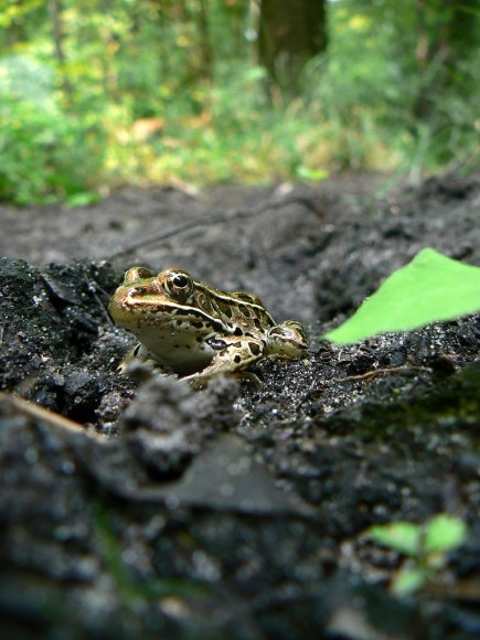 PHOTO: A northern leopard frog seen from ground level, peers at the camera suspiciously.