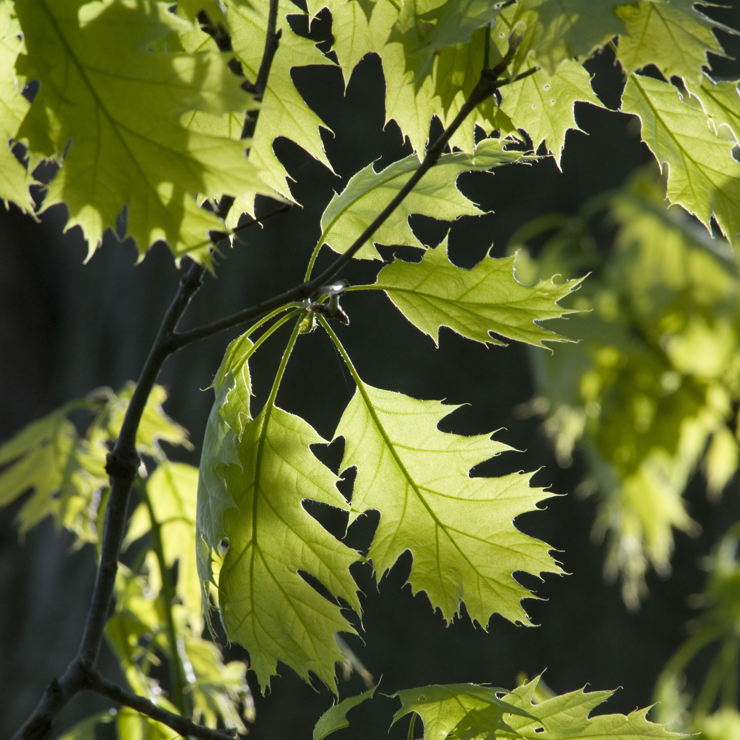 PHOTO: Oak leaves.