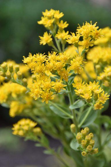 Stiff goldenrod (Oligoneuron rigidum)